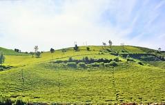 Green Carpet (ragams) Tags: green estate tea tamil ooty nadu
