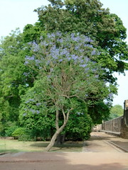 Full View of Blue flowers!! (shailesh-mishra) Tags: new plant flower tree delhi tomb humayun
