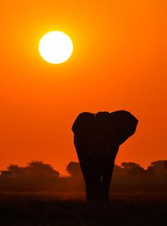 Lone Bull, Chobe National Park, Botswana