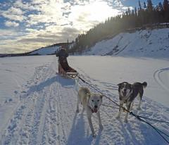 G0208686 c (Chilcotin Johnny) Tags: dog yukon sledding whitehorse gopro travelstoke