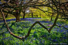 Bluebells! (James Neeley) Tags: flowers kewgardens london bluebells jamesneeley