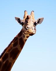 Portrait of a Giraffe (BeeBex) Tags: sydney australia giraffe tarongazoo
