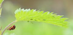 (wistine) Tags: bug bugs ladybug mating pr0n ladybugs kfer marienkfer 2016