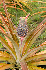 Maui Golden Pineapple (rschnaible) Tags: food plants usa botanical outdoors hawaii golden us pacific farm farming maui pineapple tropical production tropics