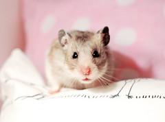 My beautiful Filifionka (pyza*) Tags: pet girl animal rodent furry critter hamster fifi syrian hammie syrianhamster chomik filifionka