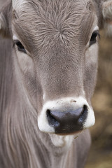 Calf (Walter Quirtmair) Tags: portrait rural cow head farm calf livestock 500px ifttt quirtmair
