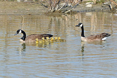 Canada Geese and six goslings (ctberney) Tags: birds spring pond babies young goslings brantacanadensis canadageese