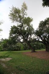 Canon206498 (godrudy6661) Tags: neworleans audubonpark treeoflife oaktrees