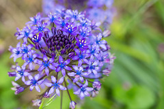 Fleurs (aurebroc) Tags: blue flower macro nature fleur garden spring purple jardin printemps macrophotography