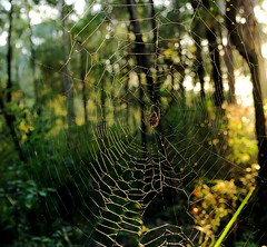 sun worshipper (alden0249) Tags: light nature sunrise spiders cobwebs australianwildlife bidjigalreserve