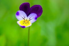 une pense pour toi (christophe.laigle) Tags: flower macro fleur colors fuji couleurs pansy 60mm printemps pense xpro2