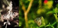 Butterfly at the garden of Munnar, Kerala, India (himanshi.mittal) Tags: travel india flower nature beautiful wow butterfly garden kerala munnar travelphotography munnarflowergarden