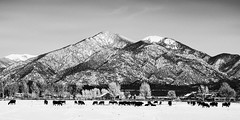 Grazing At Pueblo Peak (Mabry Campbell) Tags: blackandwhite usa newmexico animals landscape photography countryside photo photographer cows image fav50 unitedstatesofamerica fineart f10 fav20 hasselblad photograph 100 february fav30 fineartphotography 80mm 2016 commercialphotography fav10 carsonnationalforest fav40 fav60 fav80 fav70 hc80 pueblopeak sec mabrycampbell h5d50c 20160206campbellb0000762 february62016