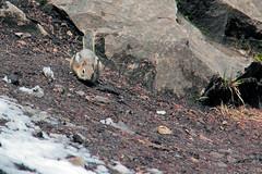 Golden-Mantled Ground Squirrel, Johnston Creek Hike (Velates) Tags: spring goldenmantledgroundsquirrel johnstoncreek