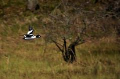 goldeneye (UndaJ) Tags: rain birds scotland highlands wildlife goldeneye