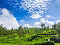 Dambetenne Tea Plantation (2) - Haputale, Sri Lanka.jpg (SWTRIPS) Tags: green landscape tea seat roadtrip sri lanka plantation srilanka teaplantation liptons liptonsseat swtrips