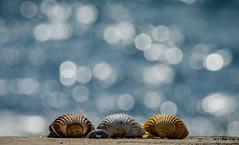 Una giornata al mare, 27 marzo 2016 (adrianaaprati) Tags: sea mer beach meer mare bokeh shell conchiglia coquille schale
