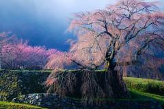Spring color of Japan (HarQ Photography) Tags: spring cherry tree peach flower blossom fujifilm xt1 xf50140mmf28rlmoiswr 又兵衛桜 本郷の瀧桜