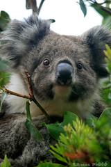 Koala's brain (boze610 [ free tibet ] [in giro per il mondo]) Tags: travel wild travelling nature wildlife naturallight australia natura brain victoria koala wildanimal vic greatoceanroad viaggio koalabear capeotway naturalmente viaggiando greatphotographers wildlifeofaustralia groccaphoto