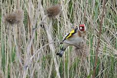 HNS_1458 Putter : Chardonneret eleganz : Carduelis carduelis : Stieglitz : Eurasian Goldfinch