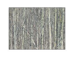 'Birch Stand' (Canadapt) Tags: trees abstract forest stand graphic grove birch timmins numerous breakalltherules canadapt nocenterofinterest