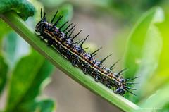 De todo un poco... (Mariposa en ciernes. De mi jardn) (Barbieri2) Tags: naturaleza insectos macro argentina buenosaires tigre nikond5100 barbieri2