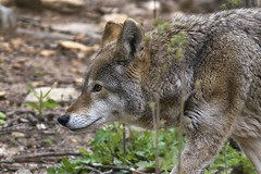Red wolf (ucumari photography) Tags: animal mammal zoo nc wolf north carolina april redwolf 2016 specanimal ucumariphotography canisrufus dsc6959