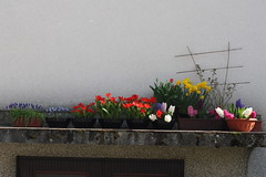 Blossoming Garage Roof (Cobra_11) Tags: flowers roses canon spring tulips balcony garage blumen bulbs seedlings petunias canoneos daffodils frhling hyacinths frhjahr canoneos450d digitalrebelxsi ef50mmf18iief50mm118ii