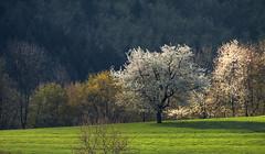 Aprs la neige... (mrieffly) Tags: canoneos50d arbresenfleur geishouse printempsvosges 100400issriel