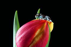 Amazon Milk Frog, CaptiveLight, Bournemouth, UK (rmk2112rmk) Tags: uk amphibian frog bournemouth milkfrog amazonmilkfrog trachycephalusresinifictrix captivelight