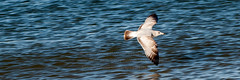20160404_0521 (HarryMorrowPhotography) Tags: water bay fly flying seagull gull norfolk flight young va across chesapeake swooping