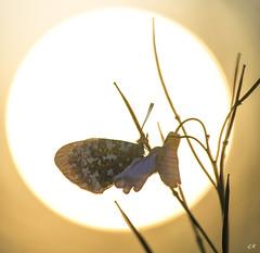 L'aurore au soleil levant. (gille33) Tags: sun macro nature butterfly insect soleil papillon contrejour insecte insectes aurore sigma150 nikond810 gillesremus