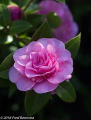 IMG_7360-1 (A.J. Boonstra) Tags: canon f14 grandprix usm camellia japonica ef50mm 700d