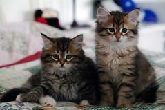 gatto siberiano (14) (tiziano.parmeggiani) Tags: cat chat gato felinos felini felines katze gatto siberiancat flins sibirischekatze gattosiberiano gatosiberiano chatsibrien