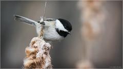 Black-capped Chickadee (Chris Lue Shing) Tags: ontario canada bird nature spring pond aurora newmarket blackcappedchickadee wetland mckenziemarsh nokiidaatrail nikond7100 tamronsp150600mmf563divcusd chrislueshing