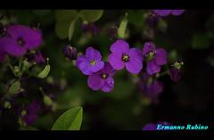 Aiuola San Gervasio (ermy70) Tags: flowers flower macro fleurs fiori cuneo granda langa provinciadicuneo saliceto provinciagranda flowerwatcher altalanga langarolo cuneoeprovincia