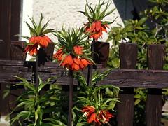 Imperial Crown - HFF ! (swetlanahasenjger) Tags: fence spring zaun frhling gardenflowers imperialcrown kaiserkrone gartenblumen saariysqualitypictures 21042016