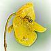 200 Bulbophyllum analamazoatrae