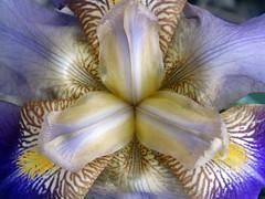 DSC00236 (gregnboutz) Tags: flowers flower macro gardens colorful macros macroflowers gardenflowers macroflower gardenflower colorfuliris macroiris macroirises colorfulmacros colorfulirises