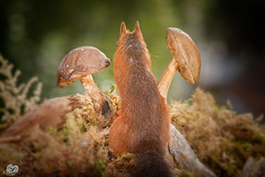 watching away (Geert Weggen) Tags: autumn light red summer  plant cute fall nature mushroom animal closeup mammal happy rodent moss spring squirrel funny bright ground toadstool geert perennial weggen ilobsterit hardeko