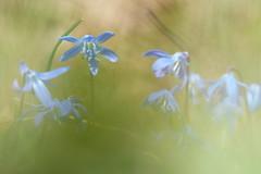Scilla (evisdotter) Tags: flowers macro spring bokeh blommor scilla sooc