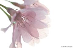 DSC_8694 (Frankie Tseng ()) Tags: park pink flowers sunset sky bw flower silhouette photography 50mm blackwhite nikon outdoor flash sunny tokina cherryblossoms fade nikkor 70300mm tamron 90mm f8 1224mm f28 f4 1870mm bwphotography blackwhitephotography portraitphotography outdoorportrait sb900 yongnuo outdoorportraitphotography yn568