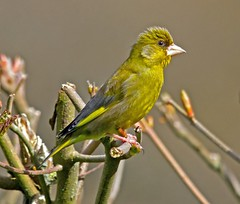 Greenfinch ...male (4gyp) Tags: ngc finch greenfinch breedingplumage