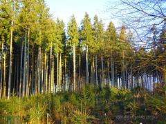 Morgensonne im Wald (warata) Tags: wood germany deutschland wald bäume baum fichten tannen schwaben badenwürttemberg tannheim 2015 swabia süddeutschland southerngermany oberschwaben upperswabia schwäbischesoberland tannheimwürtt