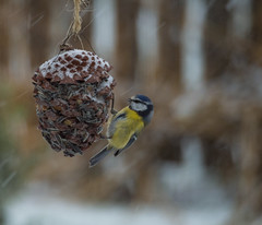 Blmeis (Torjan Haaland) Tags: winter snow bird animal vinter feeding outdoor ute fugl sn spiser kongle blmeis