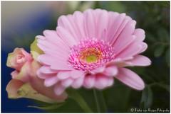 Gerbera (PvRFotografie) Tags: flowers flower holland nature 50mm sony nederland natuur bloemen bloem rokkor vintagelens minoltamdrokkor50mmf14 nex6