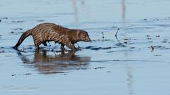 Mink On ice (TKovener) Tags: indiana jackson mink co