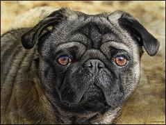 (2223) Tonet d'Albaida (QuimG) Tags: dog pet naturaleza nature nikon natura perro textures gos carlino specialtouch quimg quimgranell joaquimgranell afcastell obresdart gossosderaa