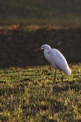 Velika bela aplja (natalija2006) Tags: white bird heron nature alba great ardea slovenia bela egret albus velika casmerodius narava pti aplja
