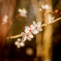 Cherry Blossom (PhotosABP) Tags: flowers cherry bokeh dop